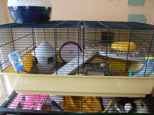 A savic ruffy which we use for dwarf hamsters