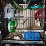 A liberta abode set up for rats