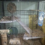 A liberta abode set up for degus